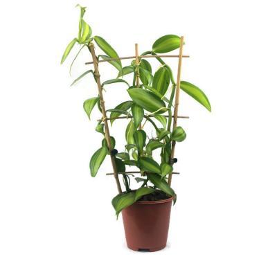 Orquídea Vanilla planifolia variegata