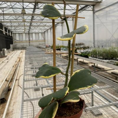 Hoya Kerri variegata