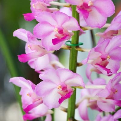 Orchidée Vascostylis Pine River pink x Rhy coelestis
