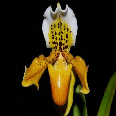 Orchidée Paphiopedilum exul