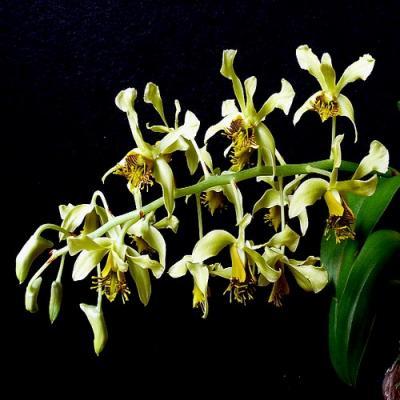 Orquídea Dendrobium venustum