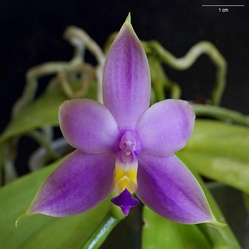 Violacea var coerulea 1