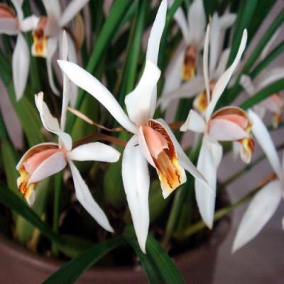 Orchidée Coelogyne viscosa