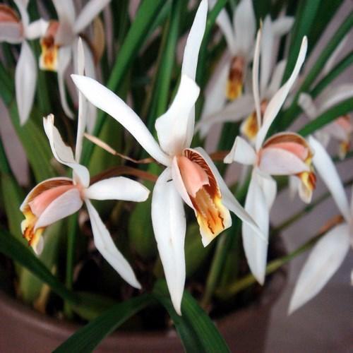 Orquídea Coelogyne viscosa