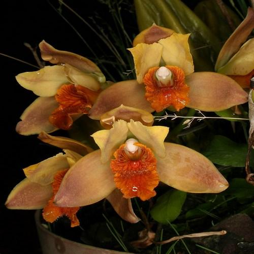 Orchid Bifrenaria vitellina