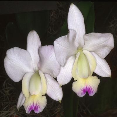Orquídea Cattleya walkeriana var. semi alba