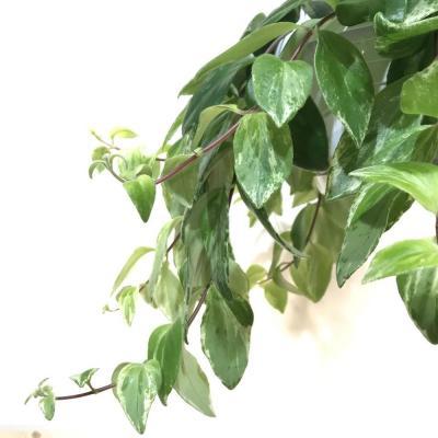 Aeschynanthus Variegata (14cm)