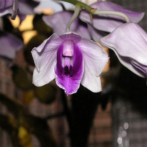 Orhidee Dendrobium williamsianum