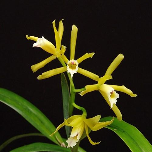 Orquídea Laelia xanthina