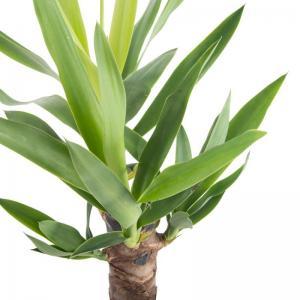 Yucca elephantipes livraison plante verte offerte pas cher