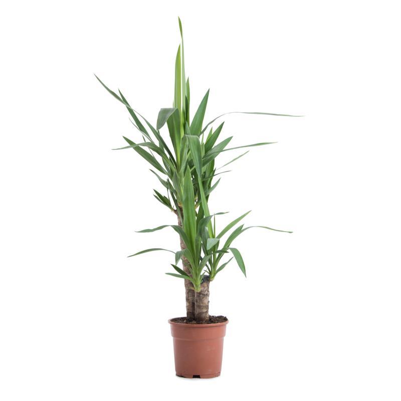 Yucca elephantipes livraison plante verte offerte