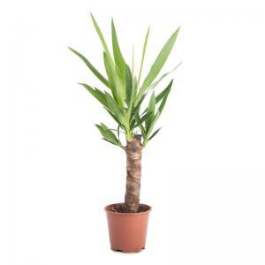 Yucca elephantipes plante verte pas cher livraison 1