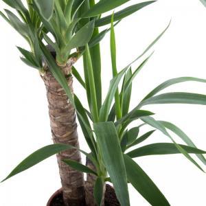 Yucca elephantipes plante verte pas cher livraison