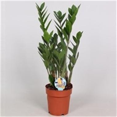 Zamioculcas zamiifolia d17 a vendre