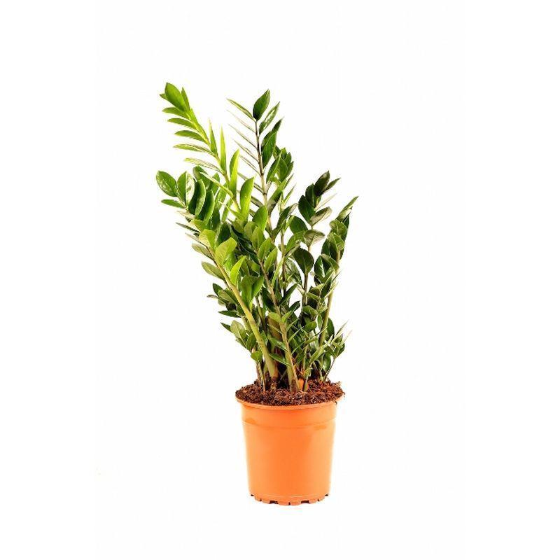 Zamioculcas zamiifolia d24 a vendre