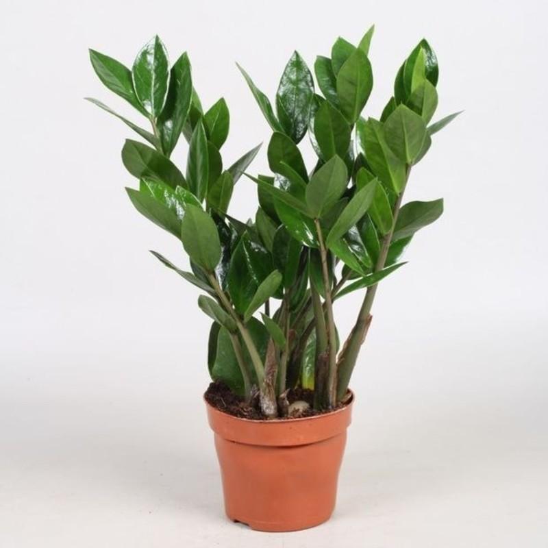 Zamioculcas zamiifolia p