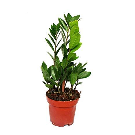 Zamioculcas zamiifolia pot 12cm
