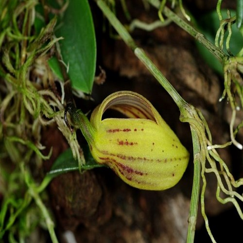 Zootrophion hirtzii