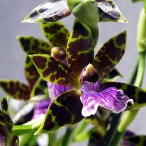 Zygopetalum hybride orchidee fleurie a vendre