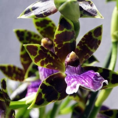 Orquídea Zygopetalum hybride